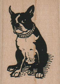 Collared Boston Terrier Sitting 1 1/2 x 2-0