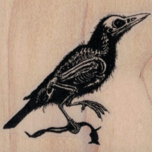 Raven Specimen 2 1/4 x 2-0